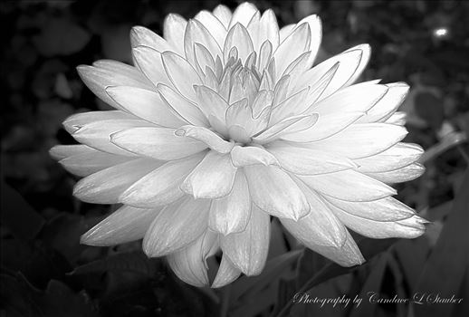 20161105_091853-lavendar-dahlia=monochrome.jpg by CLStauber Photography