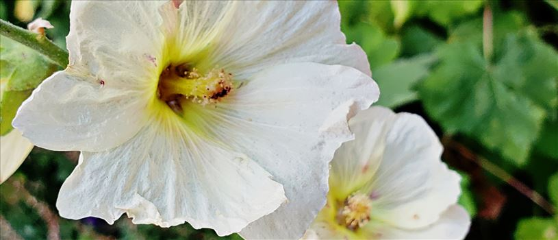 white-hollyhock by CLStauber Photography