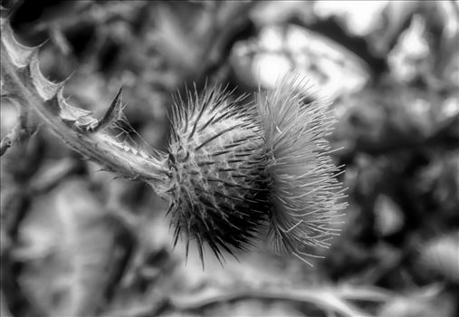 ScottishThistle-B-P1000222_pe.jpg -