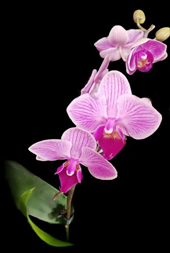 Purple Orchid by CLStauber Photography