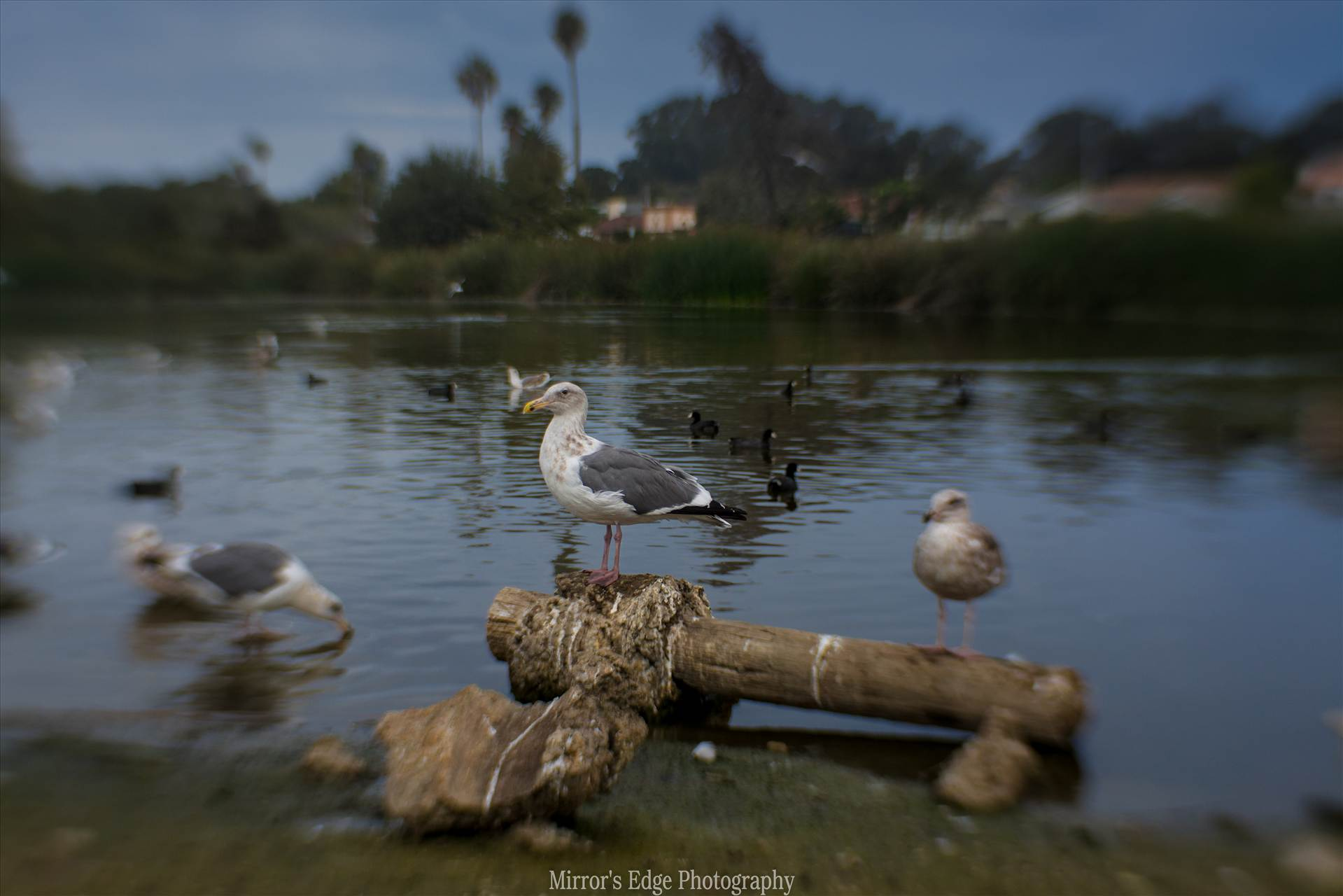 Misty Lagoon and Perching Gull.jpg undefined by Sarah Williams