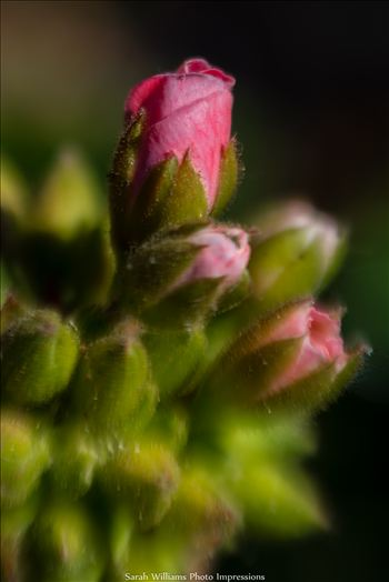 Little Pink Buds.jpg -
