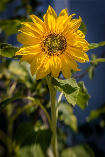 Sunflower Smiles.jpg by Sarah Williams