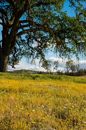 Lonely Oak and Wildflowers North County.jpg by Sarah Williams