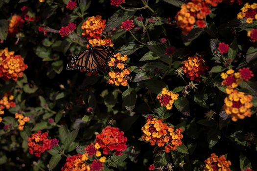 Butterfly Dawn.jpg - Monarch butterfly landing on bright flowers on California's Central Coast near Pismo Beach.