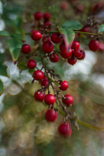 Painted Berries.jpg - Seasons change with red and green berries