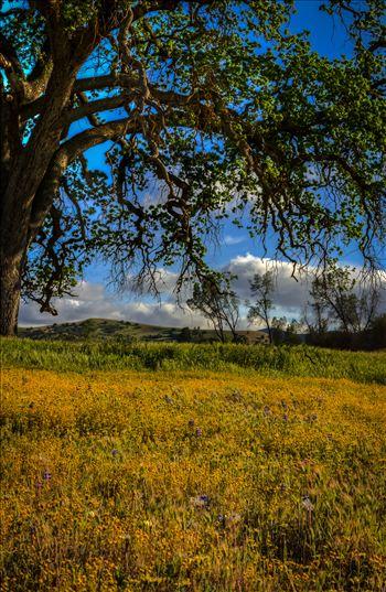 Shell Creek Oak Tree Meadow.jpg - Spring flowers beneath an Oak in Paso Robles California