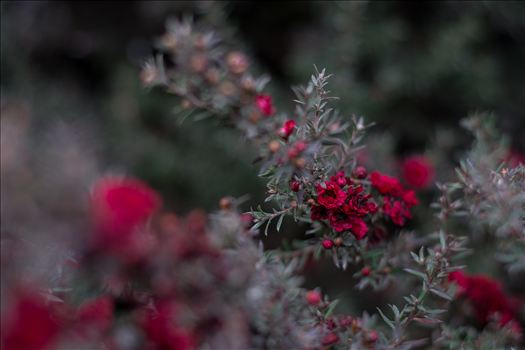 Red Blossoms Bokeh 2 10252015.jpg by Sarah Williams
