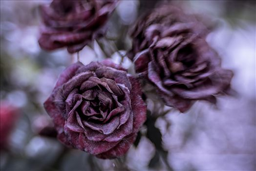Frozen Rose.jpg by Sarah Williams