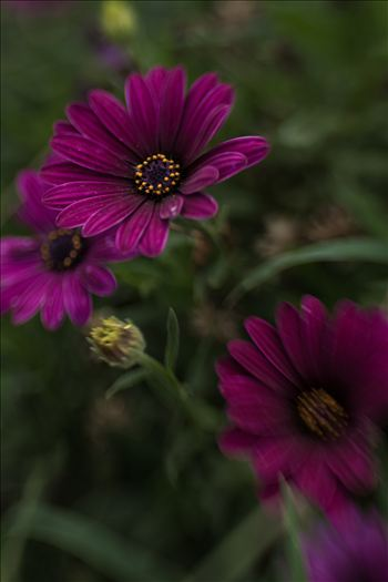Purple Velvet Daisies.jpg by Sarah Williams