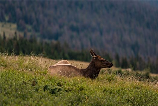 Lonely Doe in Rocky Mountain National Park by Sarah Williams