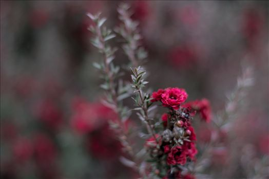 Red Blossoms Bokeh 3 10252015.jpg -
