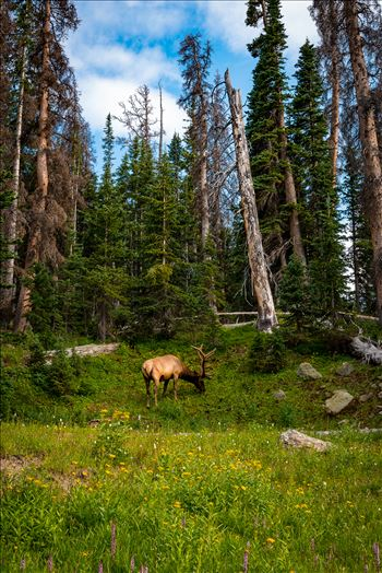 Elk in Magic Meadow -