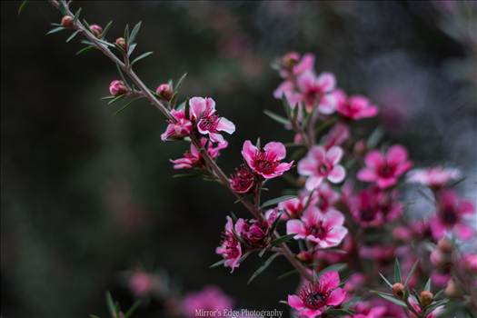Pink Blossoms 2 10252015.jpg by Sarah Williams