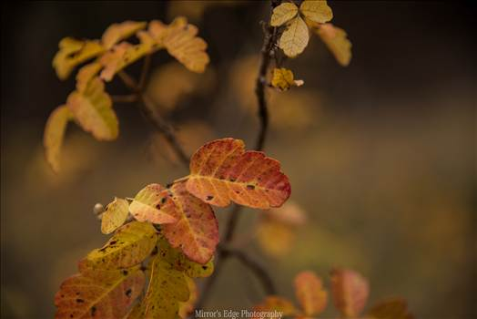 Oak Leaves Changing.jpg by Sarah Williams