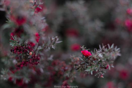 Red Blossoms Bokeh 10252015.jpg by Sarah Williams