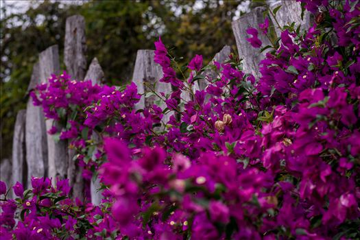 Burton Fence Purple Bathed 10252015.jpg by Sarah Williams