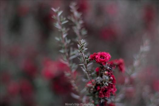 Red Blossoms Bokeh 3 10252015.jpg by Sarah Williams