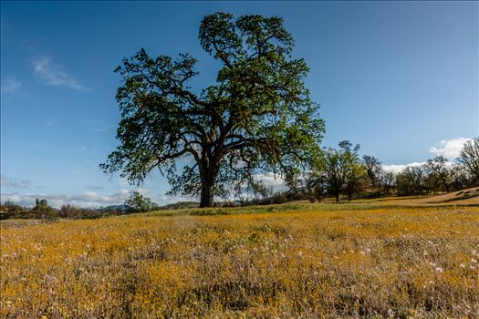 Shell Creek Oak Tree.jpg by Sarah Williams