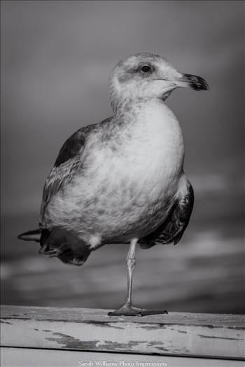 Gull.jpg - undefined