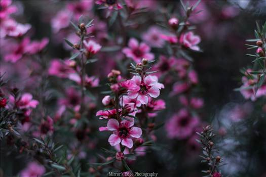 Pink Blossoms 10252015.jpg by Sarah Williams