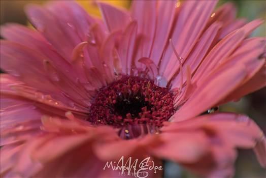 Pink Flower Water Drops.jpg by Sarah Williams