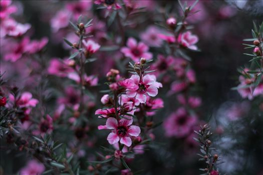 Pink Blossoms 10252015.jpg -
