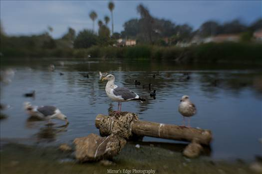 Misty Lagoon and Perching Gull.jpg by Sarah Williams