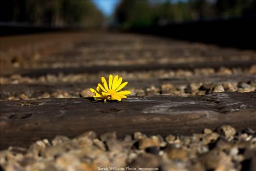 Daisy on the Tracks.jpg - undefined