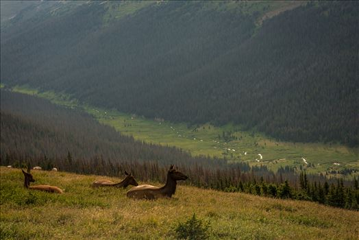 Elk at Top of Valley by Sarah Williams