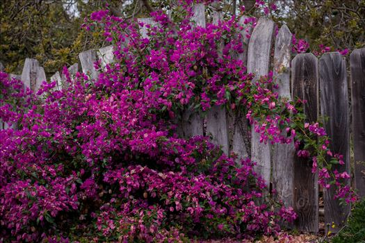 Burton Fence Purple Bathed 2 10252015.jpg by Sarah Williams