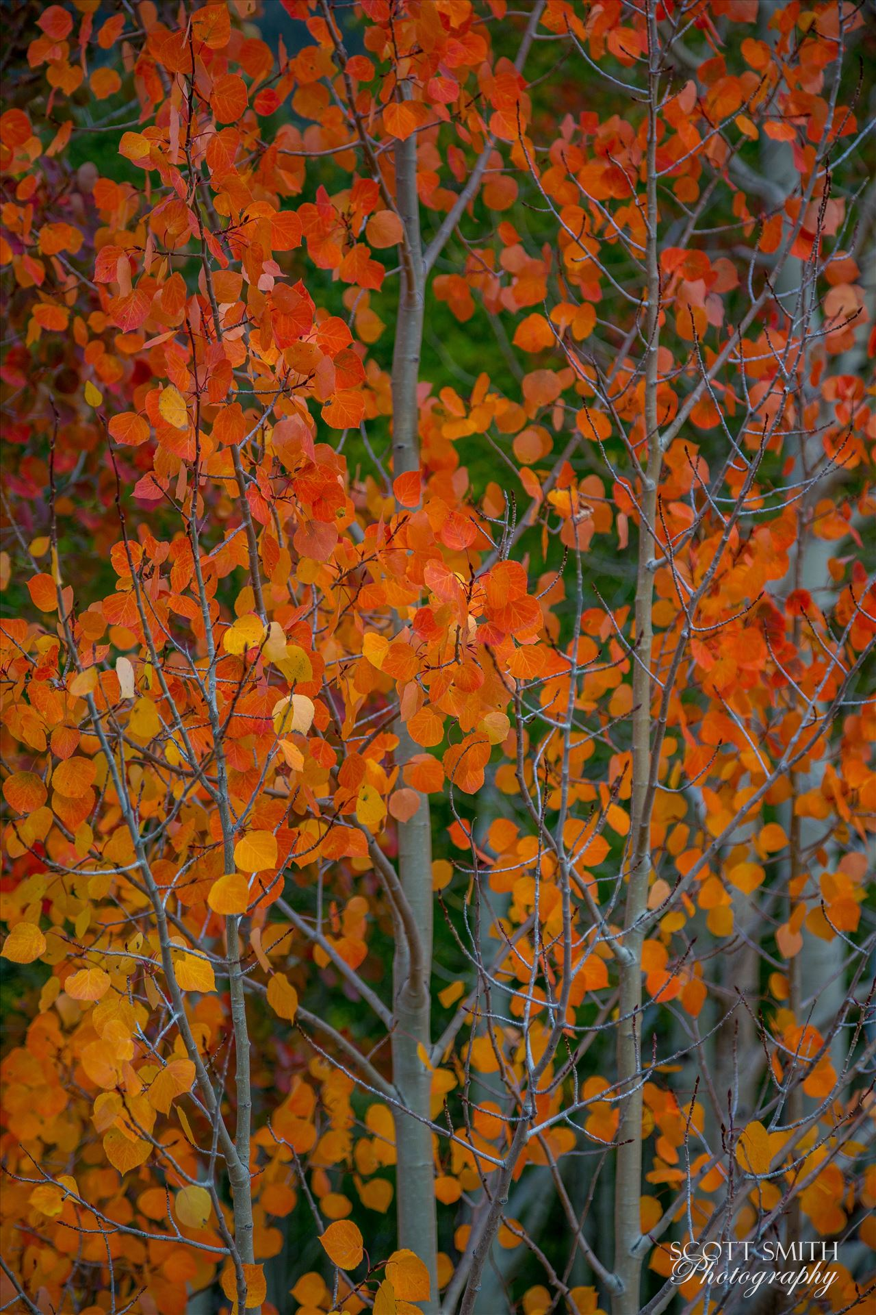 Red Aspen Detail Red aspen leaves from Last Dollar Road, outside of Telluride, Colorado in the fall. by Scott Smith Photos