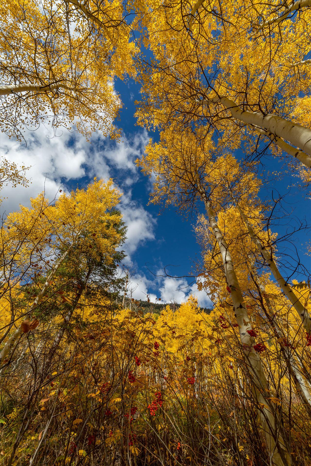 Aspens to the Sky No 2 Aspens and wild berries in Fall. Taken near Maroon Creek Drive near Aspen, Colorado. by Scott Smith Photos