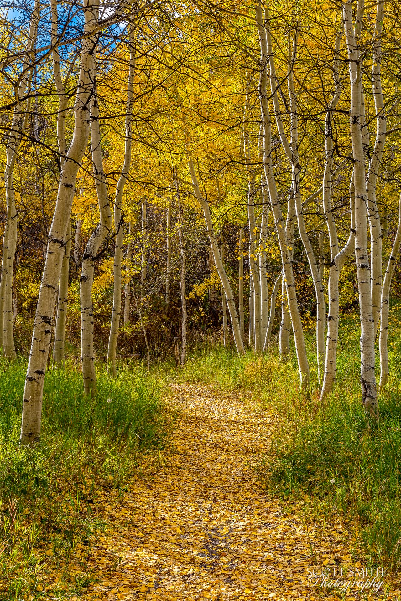 Rim Trail Aspens Beautiful aspens showing their fall colors along Rim Trail in Snowmass by Scott Smith Photos