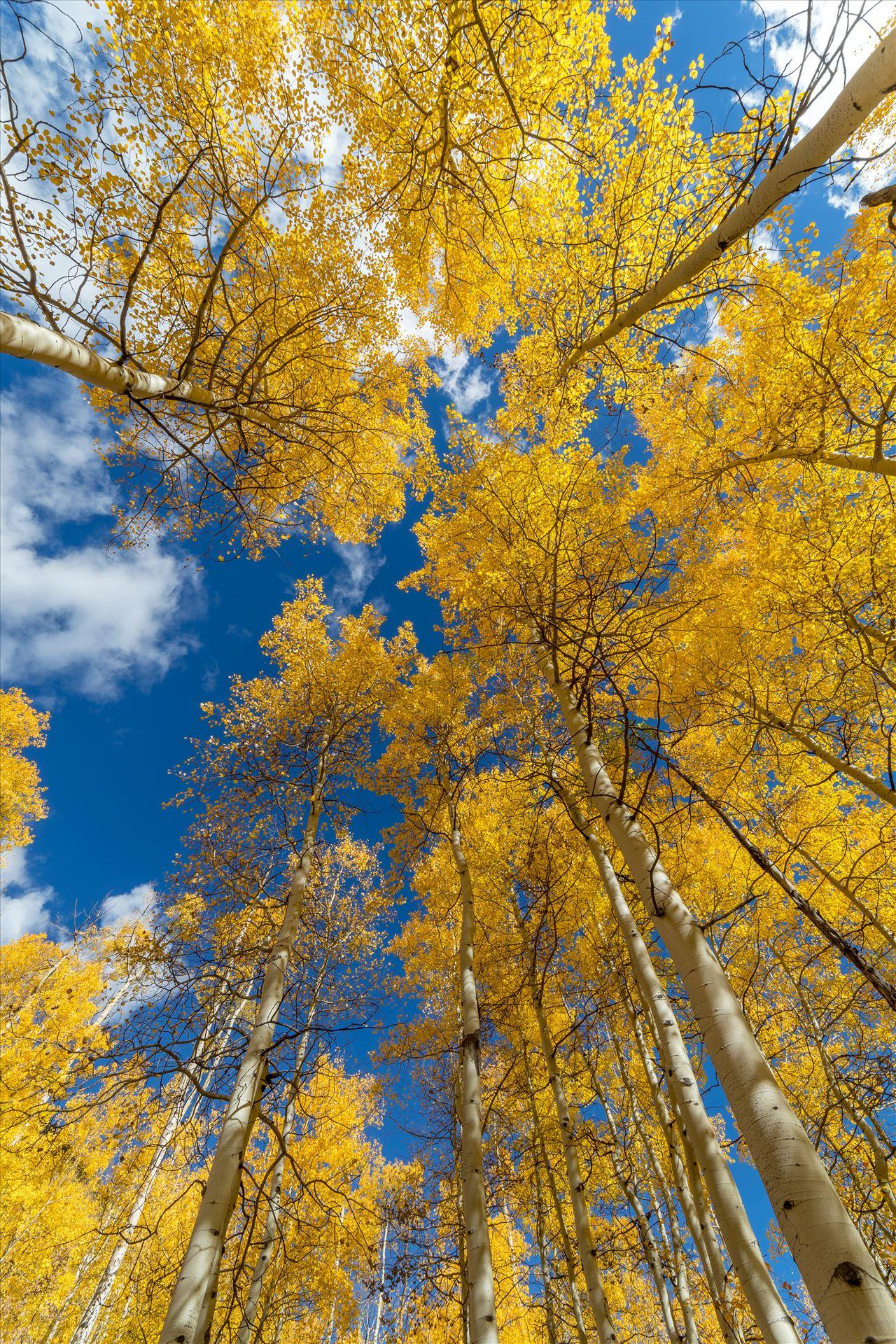 Aspens to the Sky No 1 Aspens reaching skyward in Fall. Taken near Maroon Creek Drive near Aspen, Colorado. by Scott Smith Photos