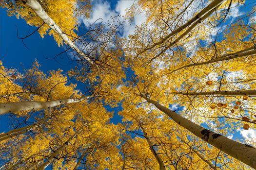 Aspens to the Sky No 3 - Aspens reaching skyward in Fall. Taken near Maroon Creek Drive near Aspen, Colorado.