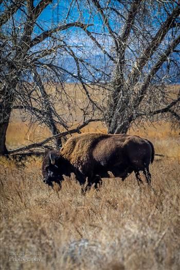Bison by Scott Smith Photos