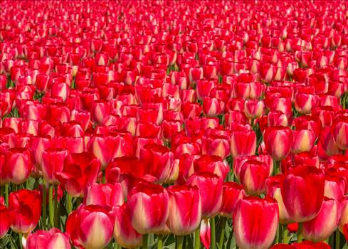 Tulips, Tulips, Tulips by Scott Smith Photos