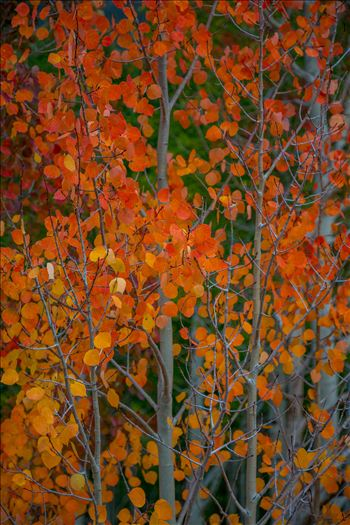 Red Aspen Detail by Scott Smith Photos