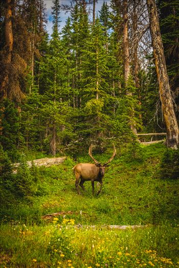 Elk in the Wild No 2 by Scott Smith Photos