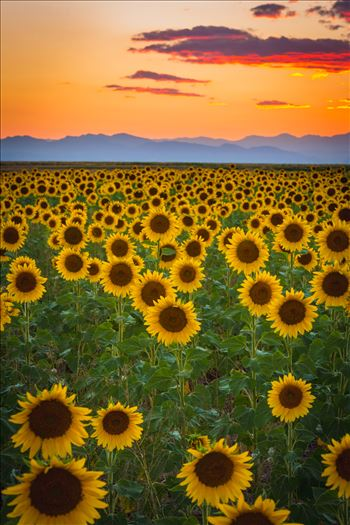 Denver Sunflowers at Sunset No 2 by Scott Smith Photos