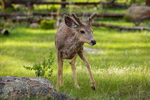Rocky Mountain National Park Deer 2 by Scott Smith Photos