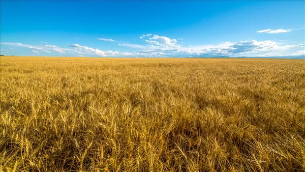 Wheat Field by Scott Smith Photos