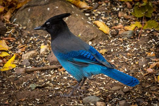 Steller's Jay by Scott Smith Photos