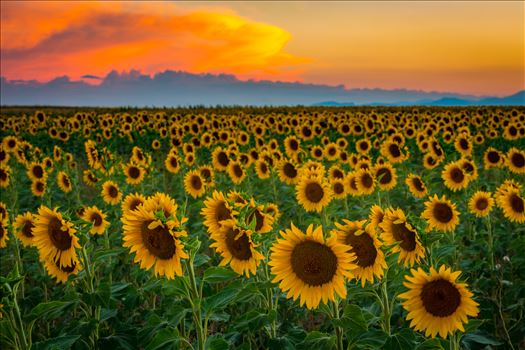 Denver Sunflowers at Sunset No 3 by Scott Smith Photos