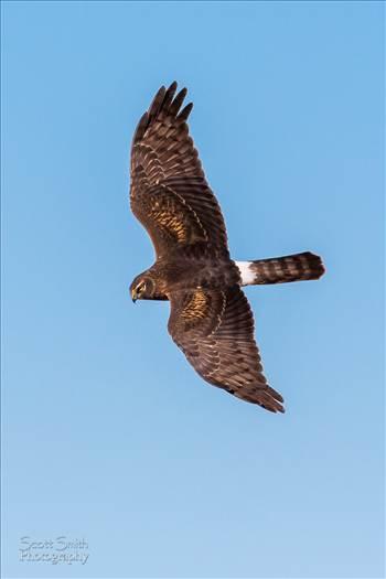 Marsh Hawk II by Scott Smith Photos