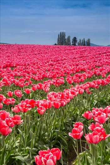 Tulips 3 by Scott Smith Photos