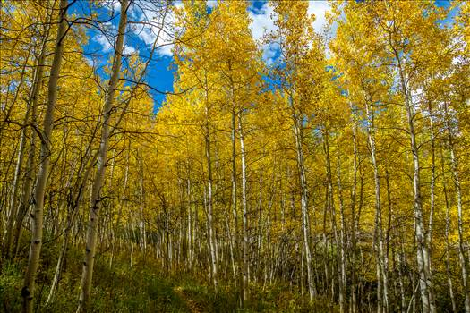 Snowmass Aspens on Rim Trail by Scott Smith Photos