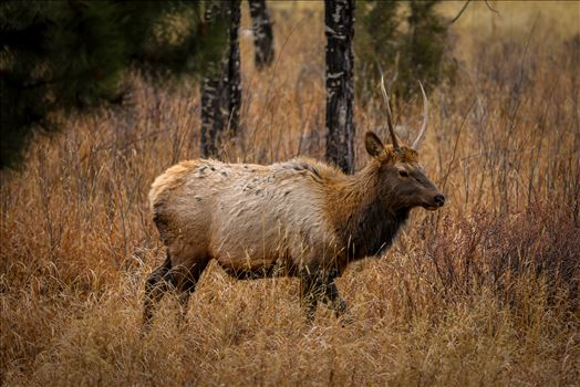 Sunday Elk No 04 by Scott Smith Photos