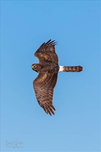 Marsh Hawk by Scott Smith Photos